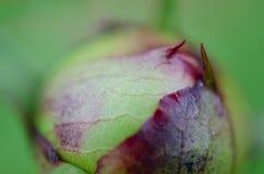 Κλειστός οφθαλμός λουλουδιών Στοκ φωτογραφία με δικαίωμα ελεύθερης χρήσης