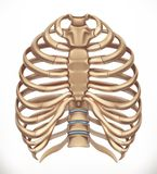 Κλουβί πλευρών Ανθρώπινος σκελετός, ιατρική τρισδιάστατο διάνυσμα απεικόνιση αποθεμάτων