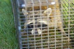 κλουβί που φαίνεται παγιδευμένη ρακούν εμφάνιση Στοκ Φωτογραφίες