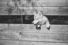 Κλουβί στο ζωολογικό κήπο Pet και ζωικός, σιβηρικός γεροδεμένος, έτος σκυλιών Στοκ Εικόνες