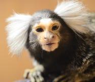κλουβί marmoset στοκ εικόνα