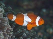 Κλόουν ψαριών κοραλλιών anemonefish Στοκ φωτογραφίες με δικαίωμα ελεύθερης χρήσης