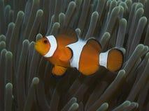 Κλόουν ψαριών κοραλλιών anemonefish Στοκ Φωτογραφίες