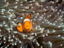 Κλόουν anemonefish σε υποβρύχιο Στοκ Εικόνα