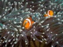 Κλόουν anemonefish σε υποβρύχιο Στοκ εικόνα με δικαίωμα ελεύθερης χρήσης