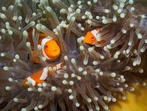 Κλόουν anemonefish σε υποβρύχιο Στοκ φωτογραφίες με δικαίωμα ελεύθερης χρήσης