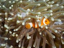Κλόουν anemonefish σε υποβρύχιο Στοκ Φωτογραφία