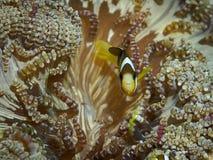 Κλόουν anemonefish σε υποβρύχιο Στοκ Εικόνες