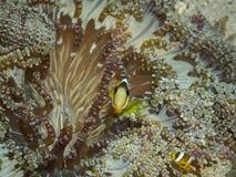 Κλόουν anemonefish σε υποβρύχιο Στοκ φωτογραφία με δικαίωμα ελεύθερης χρήσης