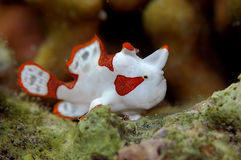 κλόουν frogfish Στοκ φωτογραφία με δικαίωμα ελεύθερης χρήσης