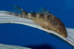Κλόουν Plecostomus Στοκ Εικόνες