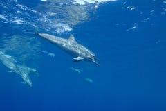 κλώστης δελφινιών Στοκ εικόνα με δικαίωμα ελεύθερης χρήσης