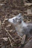 κοίταγμα αρκτικών αλεπού& στοκ εικόνα