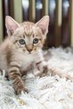 Κοίταγμα γατακιών Στοκ Εικόνες