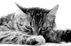 κοίταγμα γατών φωτογραφικών μηχανών Στοκ Εικόνες