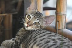 κοίταγμα γατών φωτογραφι& στοκ εικόνες με δικαίωμα ελεύθερης χρήσης
