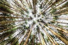 Κοίταγμα επάνω στους κλάδους κορωνών δέντρων πεύκων στα ξύλα ή το δάσος Στοκ εικόνα με δικαίωμα ελεύθερης χρήσης