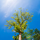 Κοίταγμα επάνω στο δέντρο με το μπλε ουρανό Στοκ Εικόνες
