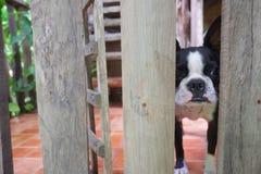 Κοίταγμα σκυλιών τεριέ της Βοστώνης Στοκ εικόνες με δικαίωμα ελεύθερης χρήσης