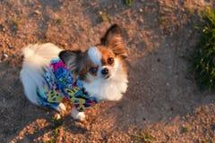 Κοίταγμα Chihuahua στοκ φωτογραφίες με δικαίωμα ελεύθερης χρήσης