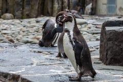 Κοίταγμα Penguin Στοκ Φωτογραφία