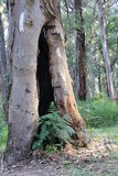 Κοίλο δέντρο - γκρίζος ευκάλυπτος Στοκ φωτογραφία με δικαίωμα ελεύθερης χρήσης