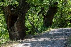 κοίλο παλαιό δέντρο Στοκ Εικόνες