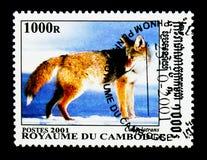 Κογιότ Canis latrans, κυνοειδής από serie σε όλο τον κόσμο, circa 2001 Στοκ Φωτογραφία