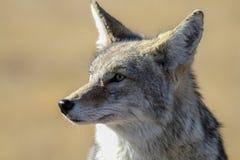 Κογιότ Yellowstone Στοκ Φωτογραφίες