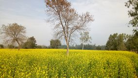 κοιλάδα napa μουστάρδας λουλουδιών στοκ εικόνα με δικαίωμα ελεύθερης χρήσης