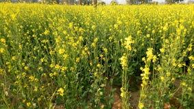 κοιλάδα napa μουστάρδας λουλουδιών στοκ φωτογραφίες με δικαίωμα ελεύθερης χρήσης