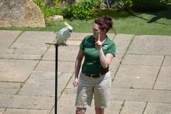 ΚΟΙΛΑΔΑ ΤΗΣ APPLE, ΜΙΝΕΣΟΤΑ - ΤΟΝ ΙΟΎΝΙΟ ΤΟΥ 2018: Το πουλί και ο εκπαιδευτής στο πουλί ζωολογικών κήπων Μινεσότας παρουσιάζουν Στοκ φωτογραφία με δικαίωμα ελεύθερης χρήσης