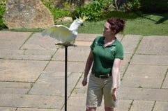 ΚΟΙΛΑΔΑ ΤΗΣ APPLE, ΜΙΝΕΣΟΤΑ - ΤΟΝ ΙΟΎΝΙΟ ΤΟΥ 2018: Το πουλί και ο εκπαιδευτής στο πουλί ζωολογικών κήπων Μινεσότας παρουσιάζουν Στοκ Φωτογραφία