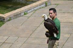 ΚΟΙΛΑΔΑ ΤΗΣ APPLE, ΜΙΝΕΣΟΤΑ - ΤΟΝ ΙΟΎΝΙΟ ΤΟΥ 2018: Το πουλί και ο εκπαιδευτής στο πουλί ζωολογικών κήπων Μινεσότας παρουσιάζουν Στοκ Φωτογραφίες