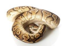 κοιλιά σφαιρών python κίτρινη στοκ εικόνες
