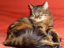 κοιμισμένη γάτα Στοκ Εικόνα