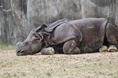 Κοιμισμένος ινδικός ρινόκερος Στοκ φωτογραφία με δικαίωμα ελεύθερης χρήσης