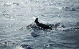 Κοινά δελφίνια πίσω, Ατλαντικός Ωκεανός Στοκ Φωτογραφίες