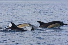 Κοινά δελφίνια (delphis Delphinus) Στοκ Φωτογραφίες