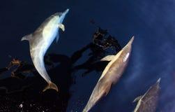 Κοινά δελφίνια ακριβώς κάτω από την επιφάνεια Στοκ Εικόνες
