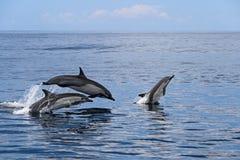 Κοινά δελφίνια που πηδούν, Κόστα Ρίκα Στοκ εικόνα με δικαίωμα ελεύθερης χρήσης