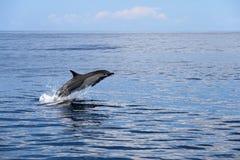 Κοινά δελφίνια που πηδούν, Κόστα Ρίκα Στοκ φωτογραφία με δικαίωμα ελεύθερης χρήσης