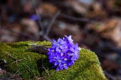Κοινά λουλούδια hepatica ή kidneywort hepatica Anemone Στοκ Εικόνες