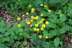 Κοινά μικρά κίτρινα λουλούδια acris νεραγκουλών ή βατραχίων στο πράσινο υπόβαθρο φύλλων Στοκ φωτογραφία με δικαίωμα ελεύθερης χρήσης