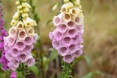 Κοινά λουλούδια Foxclove Στοκ εικόνες με δικαίωμα ελεύθερης χρήσης