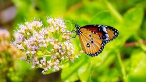Κοινά πεταλούδα και λουλούδι τιγρών Στοκ Εικόνες