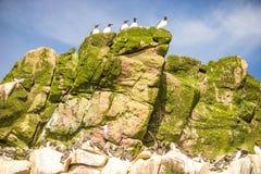 Κοινά πουλιά Murre που κάθονται στους απρόσιτους βράχους, Καναδάς Στοκ φωτογραφία με δικαίωμα ελεύθερης χρήσης