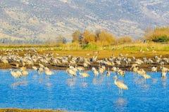 Κοινά πουλιά γερανών στο καταφύγιο πουλιών Agamon Hula Στοκ εικόνα με δικαίωμα ελεύθερης χρήσης