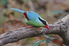 Κοινά πράσινα chinensis πουλιά Cissa κισσών της Ταϊλάνδης Στοκ Εικόνες