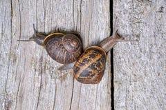 Κοινά σαλιγκάρια κήπων Στοκ Εικόνες